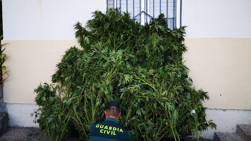 Marihuana intervida no Grove. GARDA CIVIL