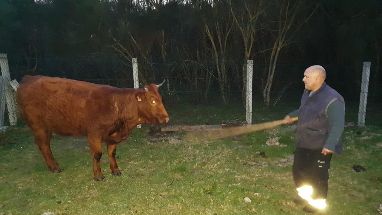 Manuel muestra al animal que tendrá que sacrificar por las heridas que le causaron los lobos. DP